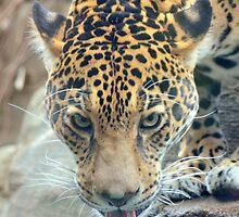 Thirsty Jaguar by sketchpoet