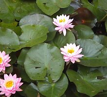 Waterlily quintet by AmandaWitt