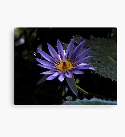 Aquatic lily Canvas Print