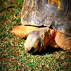 Cute Little Tortoise by tropicalsamuelv