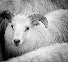 Icelandic Sheep by Natalie Broome