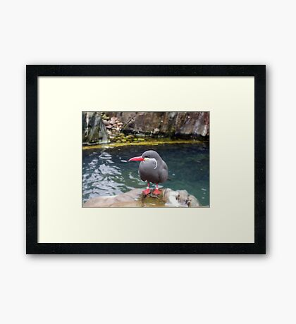 Inca Tern Framed Print