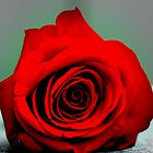 Red Rose by danielgriffin