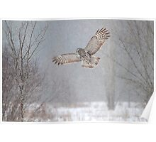 Towards the Heavens - Great Grey Owl Poster