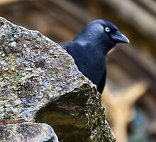 Jackdaw by lynn carter
