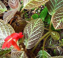 "Episcia Cupreata ""Carpet Plant"" Flower Plant by artkrannie"