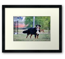 The beauty of the Bernese. Framed Print