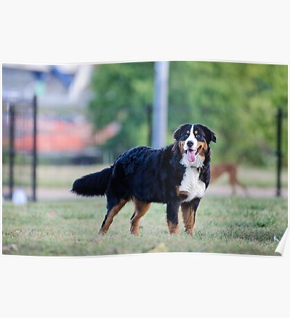 The beauty of the Bernese. Poster