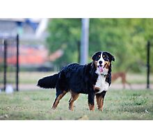The beauty of the Bernese. Photographic Print