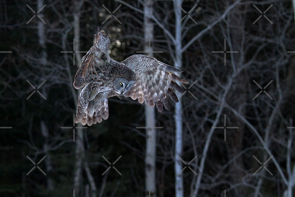 Hover - Great Grey Owl by Jim Cumming