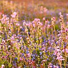 Wildflower Dusk by Anne Gilbert