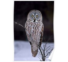 Perched - Great Grey Owl Poster