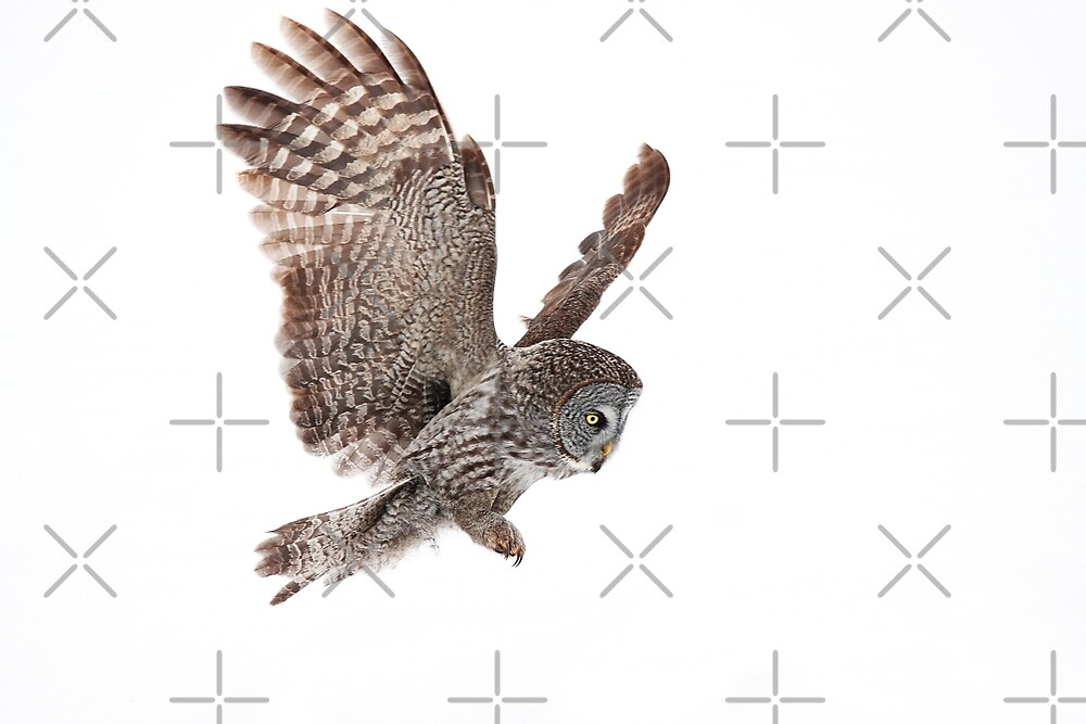 Incoming - Great Grey Owl by Jim Cumming