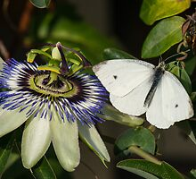Small White Butterfly by John Hooton