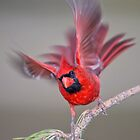 Cardinal with Billowy Wings by Bonnie T.  Barry