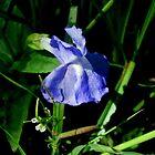 Blue Monkey Flower by Kathleen Daley