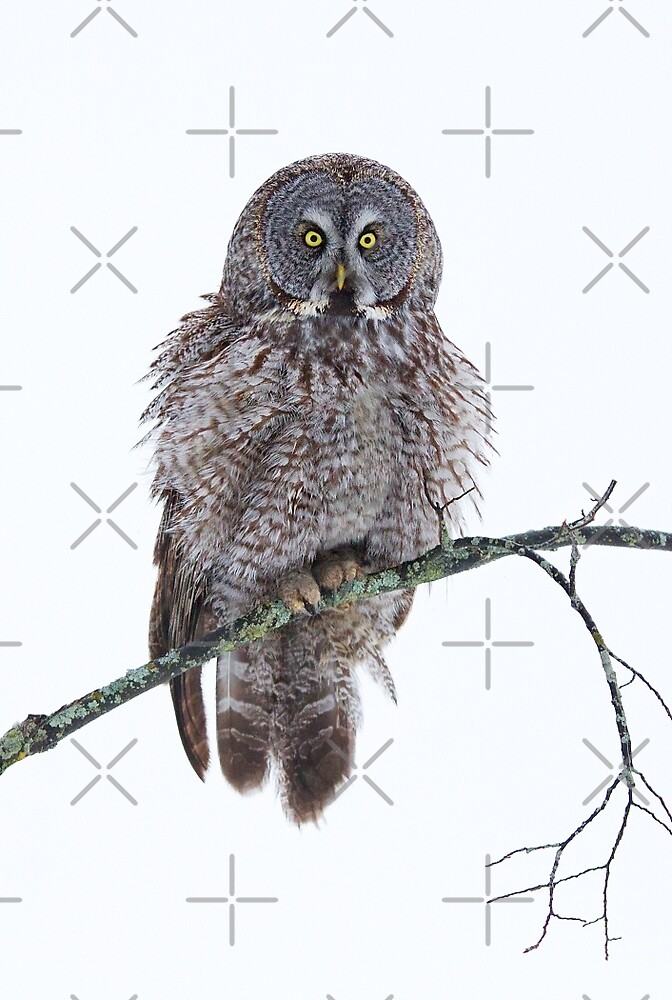 Soaked - Great Grey Owl by Jim Cumming