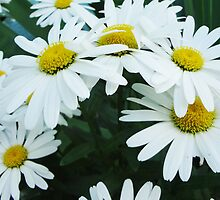 Simply Daisies by Greg Lester