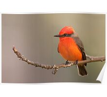 Vermilion Flycatcher - Torrance California Poster
