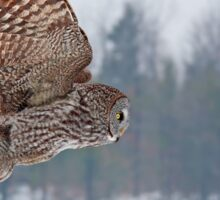 Flyby - Great Grey Owl Sticker