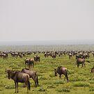 Wildebeest Migration by Philip Alexander