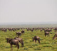 Wildebeest Migration by Philip Alexander