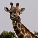 Giraffe by Philip Alexander