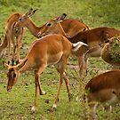 Gazelles by Philip Alexander