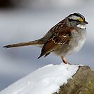 White Throated sparrow by Dennis Cheeseman