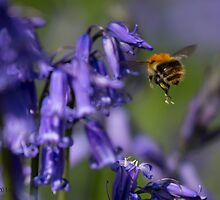 I'm Hungry: Bee on Bluebell by Rarit-T