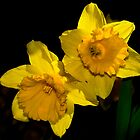 A Pair of Daffodils by cclaude