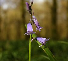 Beginnings Of Bluebells by Vicki Spindler (VHS Photography)