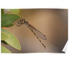 Metallic Ringtail (Austrolestes Cingulatus) Damselfly Poster