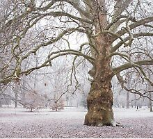 Platan Tree in Early Winter by JennyRainbow