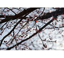 Lighted Blossoms Photographic Print