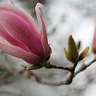 Magnolia blossom by Lynn Starner