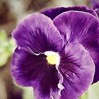 Purple Pansy by WeeZie