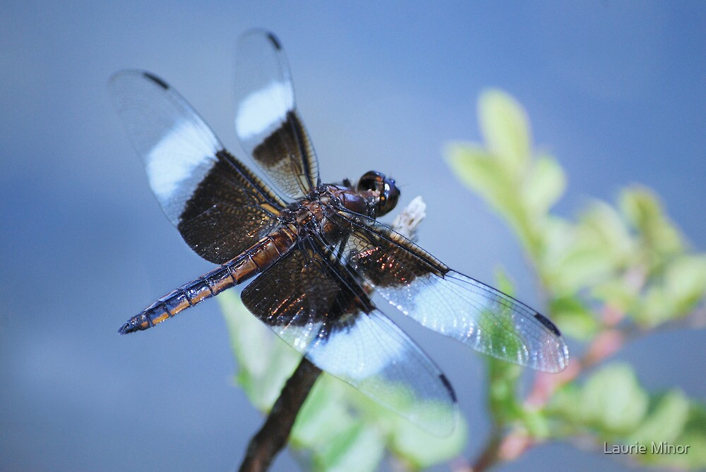 Dragonfly by Laurie Minor