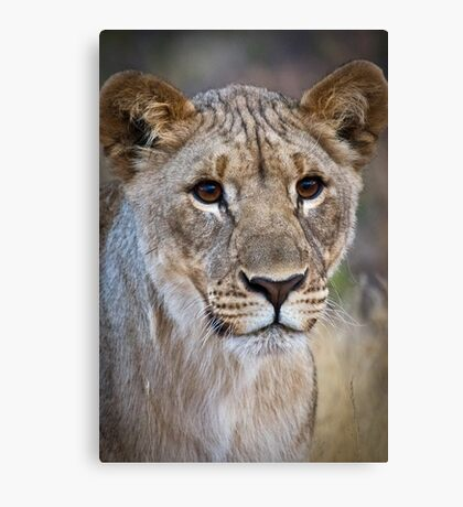 African Lion Cub Photograph Namibia Canvas Print
