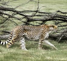 unique moving cheetah photograph by wasootch