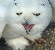 Snowy Owl, male. by Billlee