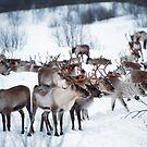 Reindeers by julie08