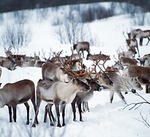 Reindeers by julie08