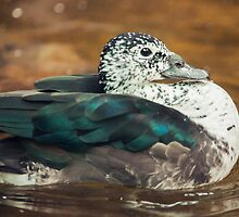 Knob-billed Duck by Dominika Aniola