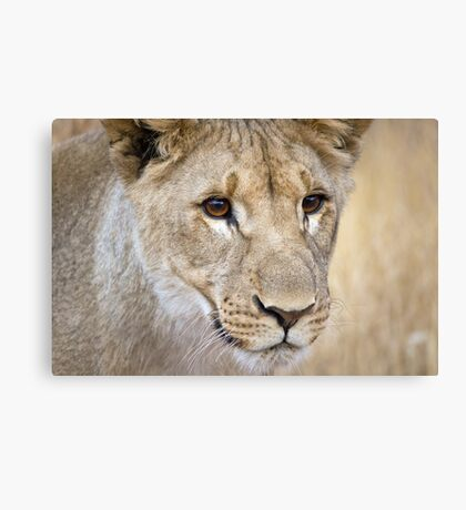African lion cub closeup photograph Namibia Canvas Print