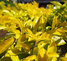 "Duranta Erecta ""Gold Mound"" Plant Shrub by artkrannie"