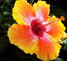 "Hibiscus Malvaceae Rosa-Sinensis ""Spin The Bottle"" 1 by artkrannie"