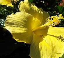 "Hibiscus Malvaceae ""Yellow"" Flower Plant 3 by artkrannie"