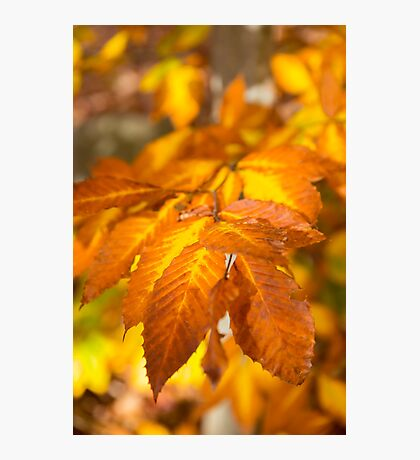 Fall foliage / Feuillage d'automne Photographic Print