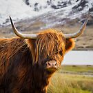 Highland Cow by Don Alexander Lumsden (Echo7)
